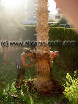 palm trees stem cleaning