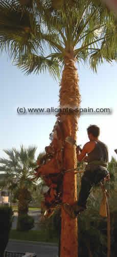 palm trees stem climbing